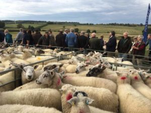 Farm dispersal sale sheep lots
